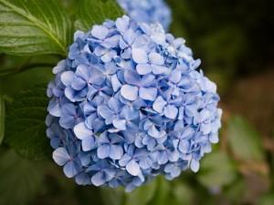 アジサイの花06
