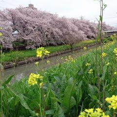 20170408川越市内の桜と菜の花03