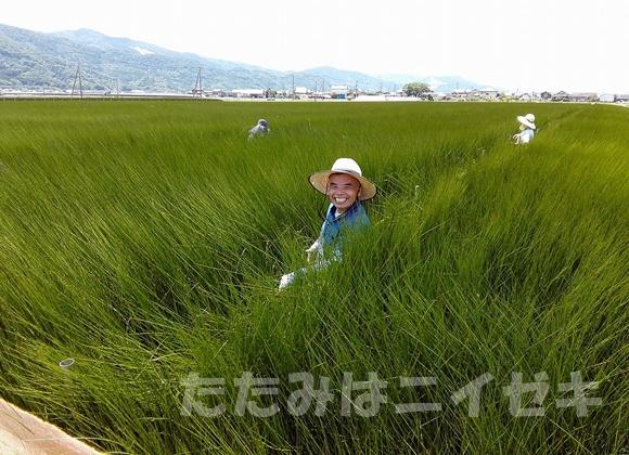 イグサの収穫研修